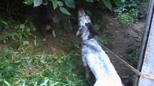 bluetick coonhound rabbit hunting beagle and bluetick coonhound treed on kitten coon youtube