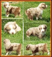 5 week old mini australian shepherd jessie u0027s litter 2 pup3 blue eyed red merle male miniature