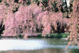 how to care for a weeping cherry tree home guides sf gate