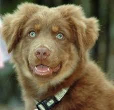 rockin b miniature australian shepherd 190 best awesome aussies images on pinterest animals dog and