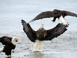 stellers sea eagle wallpapers 153 best birds of prey images on pinterest birds of prey bald