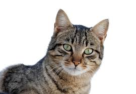 toxoplasma a common parasite that makes you angry bugbitten