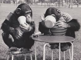 51 best chimps and monkeys images on pinterest monkey business