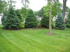 privacy trees these 4 grow the fastest trees fast growing