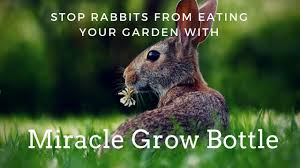 how to stop rabbits from eating your garden with miracle grow