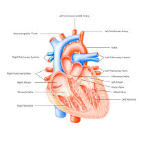 Anatomy Of The Heart And Its Functions Anatomy Of Of Heart Anatomy Of The Heart And Its Functions My