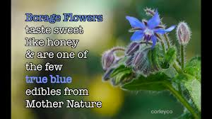 edible blue flowers borage is an edible blue flower how to be sustainable how to be