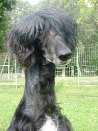 afghan hound stupid afghan with a haircut funny sighthounds pinterest afghans