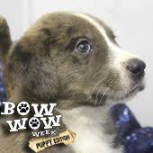 8 week old australian shepherd mix bow wow week puppy edition live with kelly and ryan