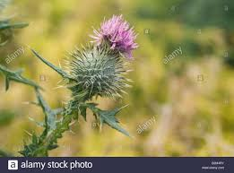scottish thistle flower landscape format stock photo royalty free