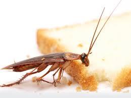 cafards cuisine désinfection de cafards et blattes solutions anti cafards à