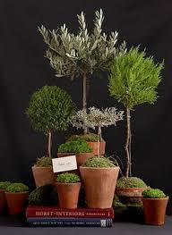 topiary topiaries indoor garden olive tree rosemary etc