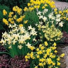 large flowering daffodils mixed 2kg bulbs or buy in bulk