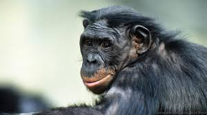 bbc earth do bonobos really spend all their time having