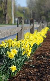 transplanting daffodil plants u2013 how to divide and transplant