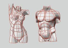 Female Body Reference For 3d Modelling Major Planes Contours Of The Male And Female Torso Pelvis Anterior