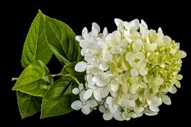 white hydrangeas we bet you didn t this about white hydrangeas