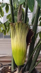 rare corpse flower begins long awaited bloom late tuesday