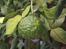 grow a kaffir lime tree indoors hgtv