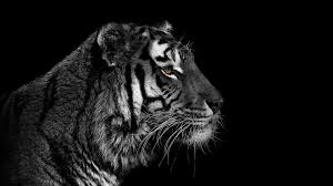 wallpaper black tiger hd black and white tiger wallpaper 60 images