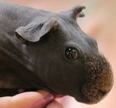 Shaved Guinea Pig Meme - a shaved guinea pig 107954209 added by flashed at log out
