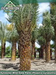sylvester date palm tree groundworks sylvester date palm