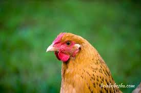 Keeping Free Range Chickens In Your Backyard Urban Farming How And Why I Keep Free Range Chickens In My