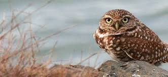 free picture burrowing owl bird athene cunicularia hypugea