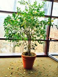 Home Plants Best 20 Ficus Tree Ideas On Pinterest U2014no Signup Required Ficus