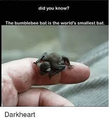 did you know the bumblebee bat is the world s smallest bat