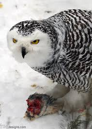 What Does A Barn Owl Look Like 1838 Best Barn Owls Snowy Owls U0026 Saw Whets Images On Pinterest