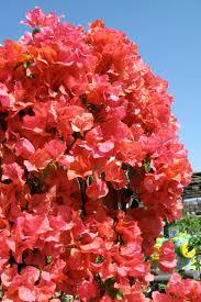 what u0027s bloomin u0027 now bougainvilleas the garden fairies