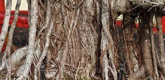 bonsai australian native plants bill jumps a broad part 5 u2013 valavanis bonsai blog