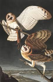 North American Barn Owl Barn Owl John James Audubon U0027s Birds Of America