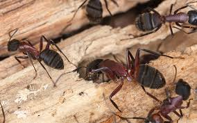 What Do Bed Bugs Eat Bed Bug Removal Rhode Island Ri Debug Pest Control