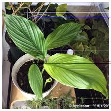 who is growing turmeric u2022 helpfulgardener com