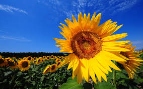 magnificent sunflower fields and interesting facts about