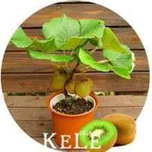 compare prices on kiwi trees shopping buy low price kiwi