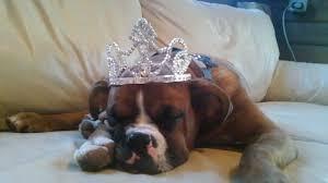 rescue a boxer dog boxer dog rescue blog benny wrinklebottom