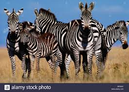 pattern formation zebra grants zebra stock photos grants zebra stock images alamy