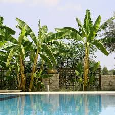 basjoo banana tree cold hardy banana tree for sale fast