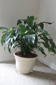 peace lily the dc boese u0027s peace lily care u0026 my experience