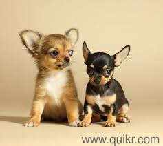 boxer dog quikr chihuahua small breed litter male and female puppy sale 9555944924