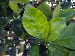 Curry Leaf Plant Diseases - asian citrus psyllid and huanglongbing in california
