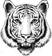 black and white illustration of a portrait of a tiger stock vector