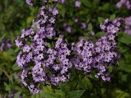 info on heliotrope flowers u2013 how to grow heliotrope and heliotrope