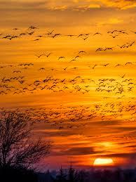 sandhill crane migration in kearney nebraska sandhill crane