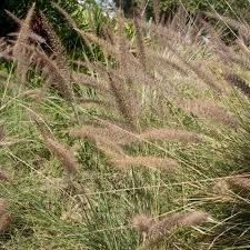 grass seeds pennisetum alopecuroides ornamental grass seed
