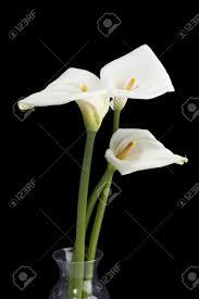 Calla Lillies Three Calla Lilies On Glass Vase In A Black Background Stock Photo