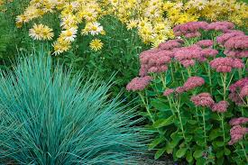 blue oat grass with sedum autumn and garden plants